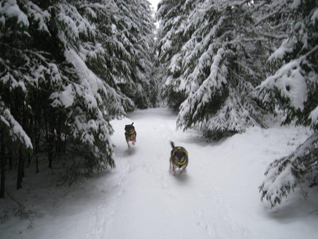 Hundar i snön