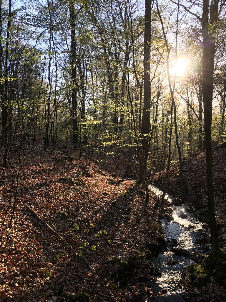 Morgonsolen silar ner mellan bokskogens skira nyutslagna löv och glittrar i Ärlabäcken