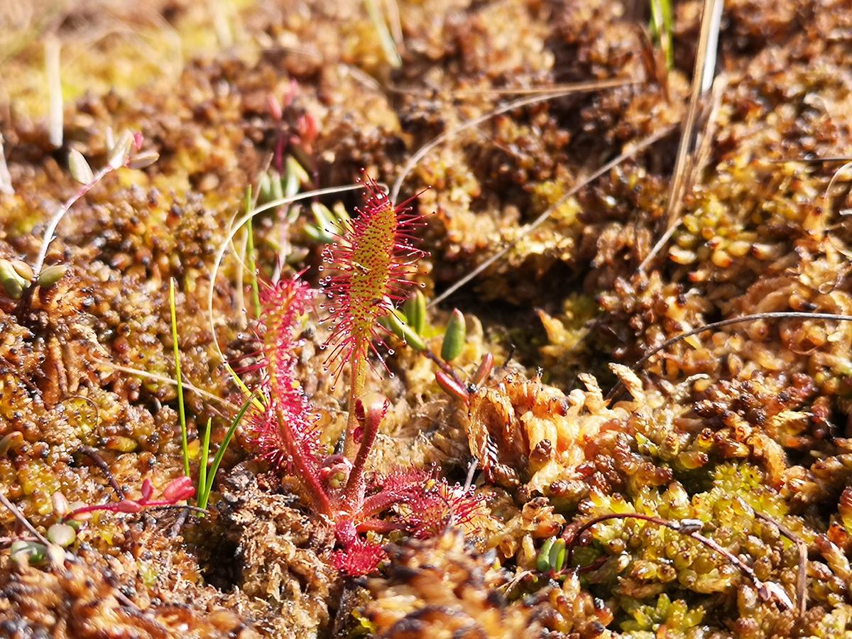 Småsileshår - en av Sveriges små köttätande växter