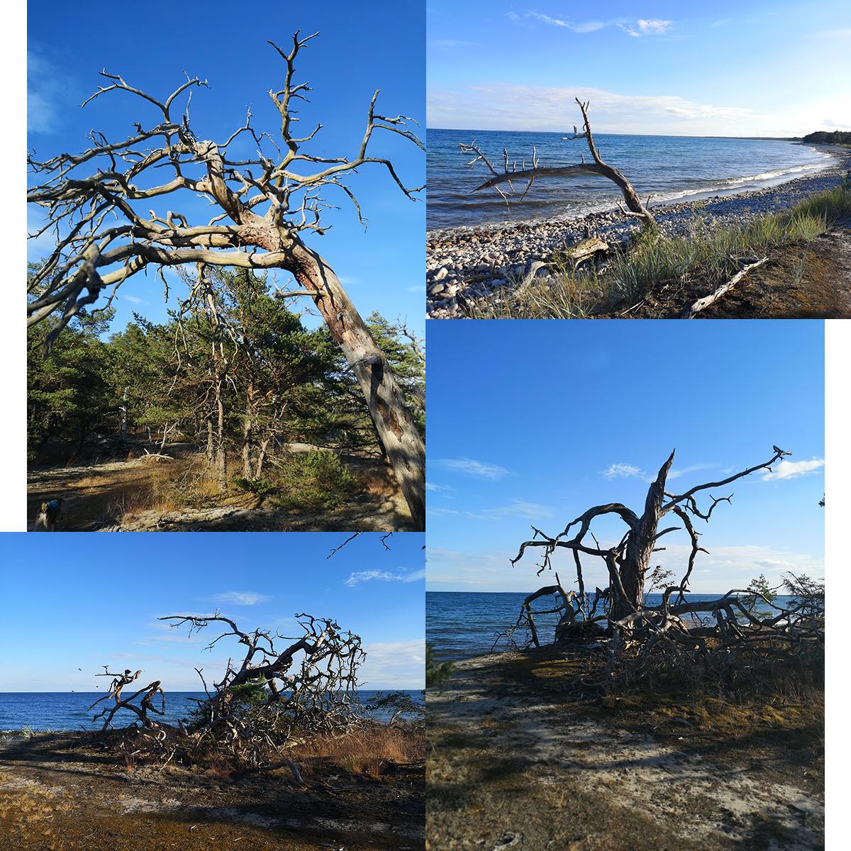 Alla döda träd som fanns längs leden vid Fagerrör var oerhört vackra och jag blev helt fascinerad av dem