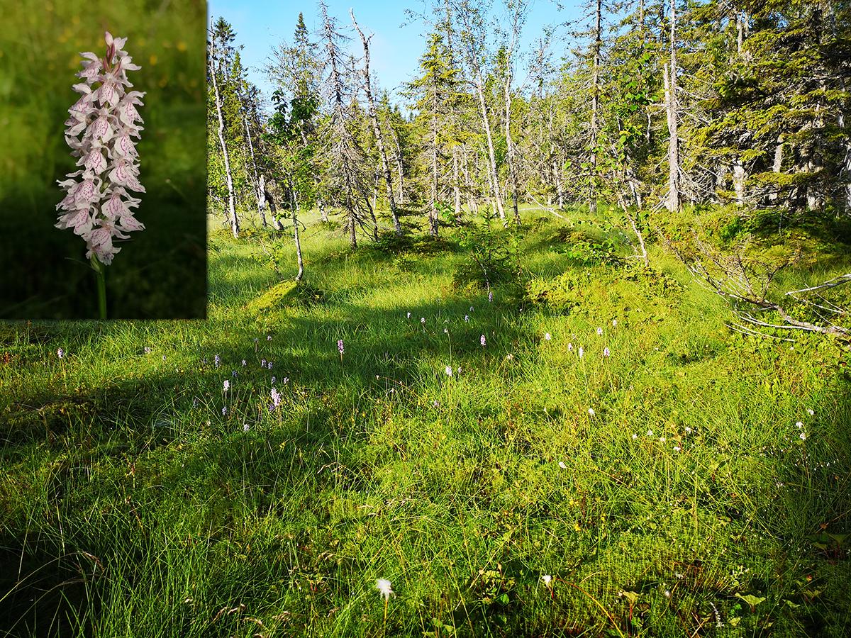 Orkidéerna (fläcknycklar) växte bokstavligt talat överallt. Hemmavid får jag gå och leta och hittar ändå bara enstaka. Vilken WOW-känsla detta var.