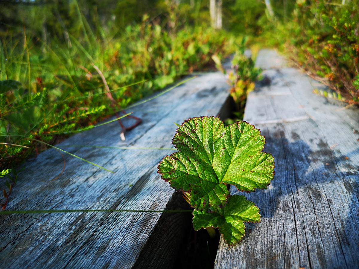 Hjortronblad längs spången i Kålhuvudets naturreservat
