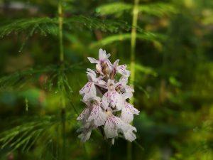 Fläcknycklar: Dactylorhiza maculata