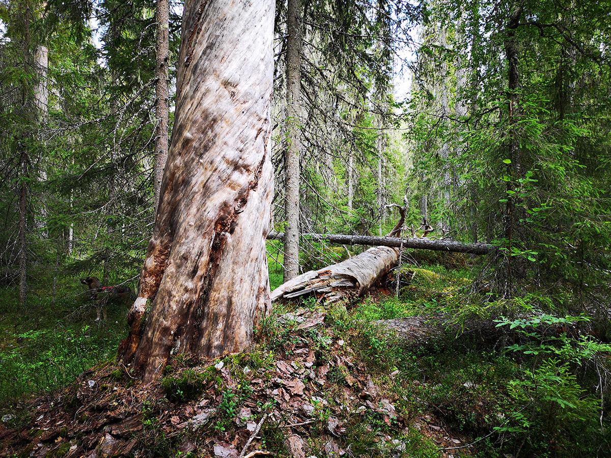 Vackert - på sitt sätt. Svårt att visa, men detta träd är gigantiskt!