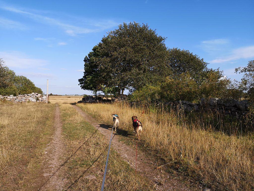 Mitt vandringssällskap längs Stora alvarleden- mina hundar