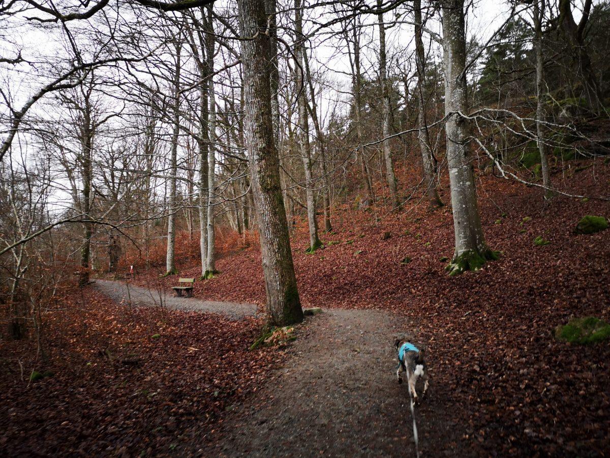 Den sista biten av leden går genom parkliknande lövskog på lättgådd väg
