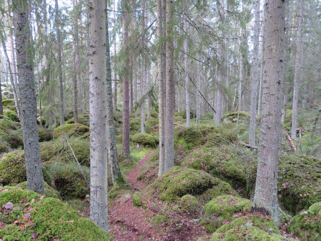 Skogen vid Selo berg ser ut som en scen ur Ronja Rövardotter