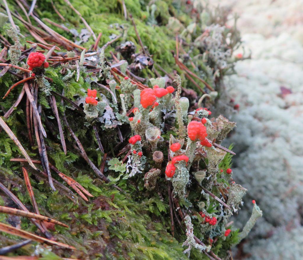 Bägarlav (cladonia) som lyser vackert rött