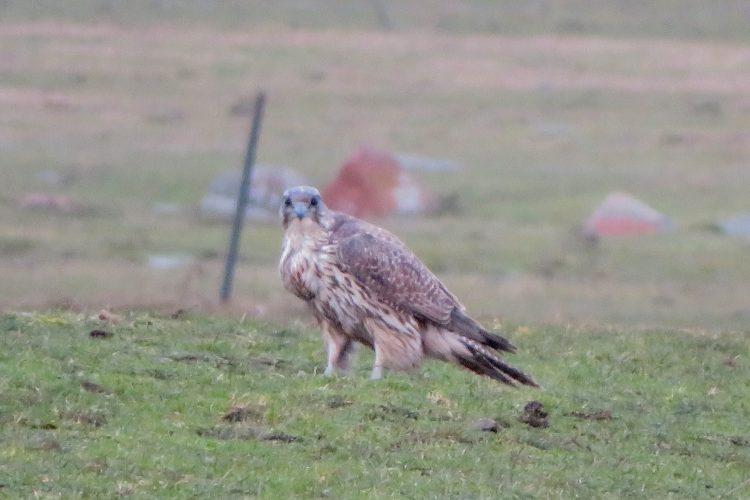 Jaktfalken - Falco rusticolus