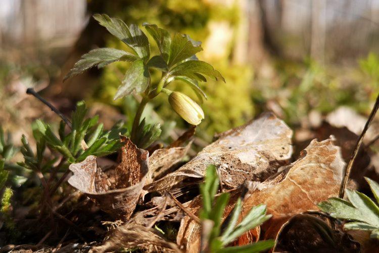 Vitsippeknopp (Anemone nemorosa) - även en vanliga blomma kan få blomnördar att gå i spinn