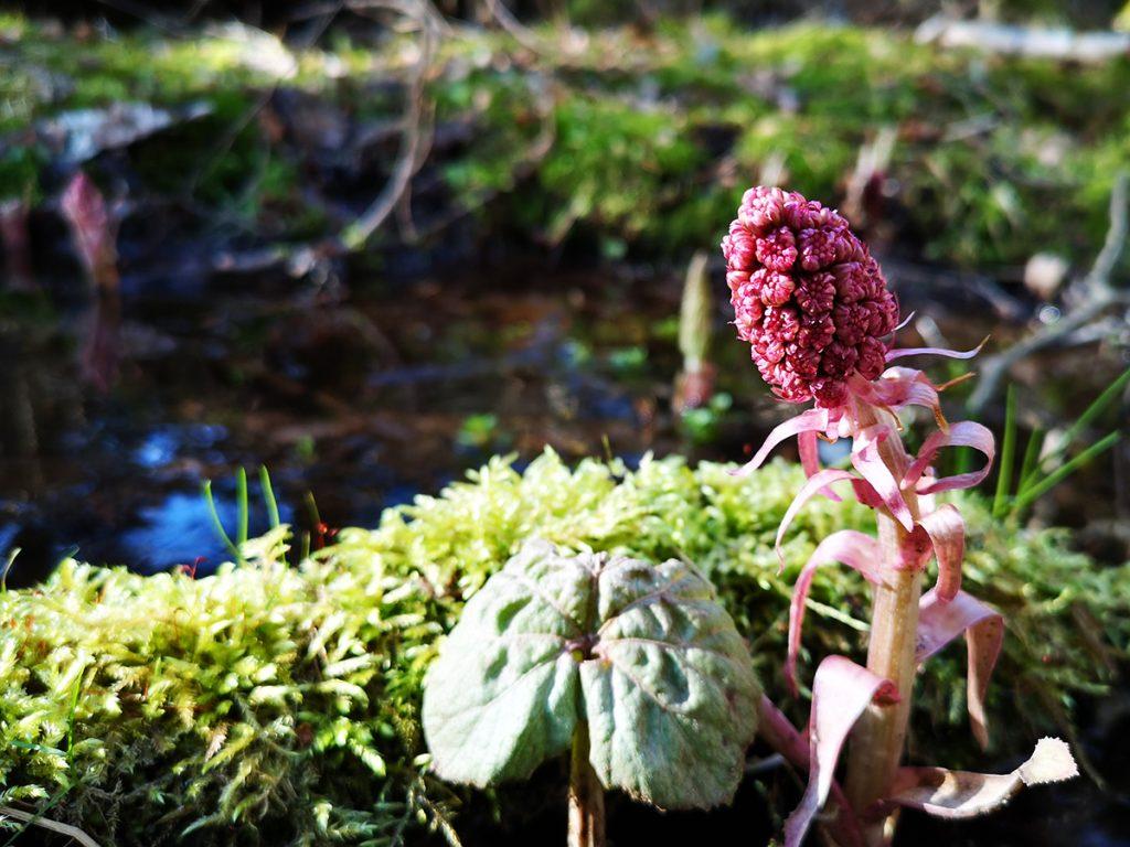 Pestskråp (petasites hybridus) i Saxiska Schweiz