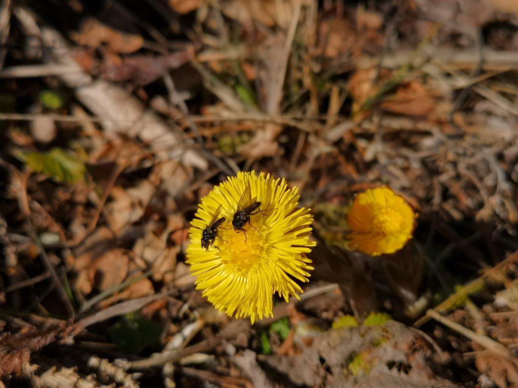 Flera vårtecken - både tussilago och flugor