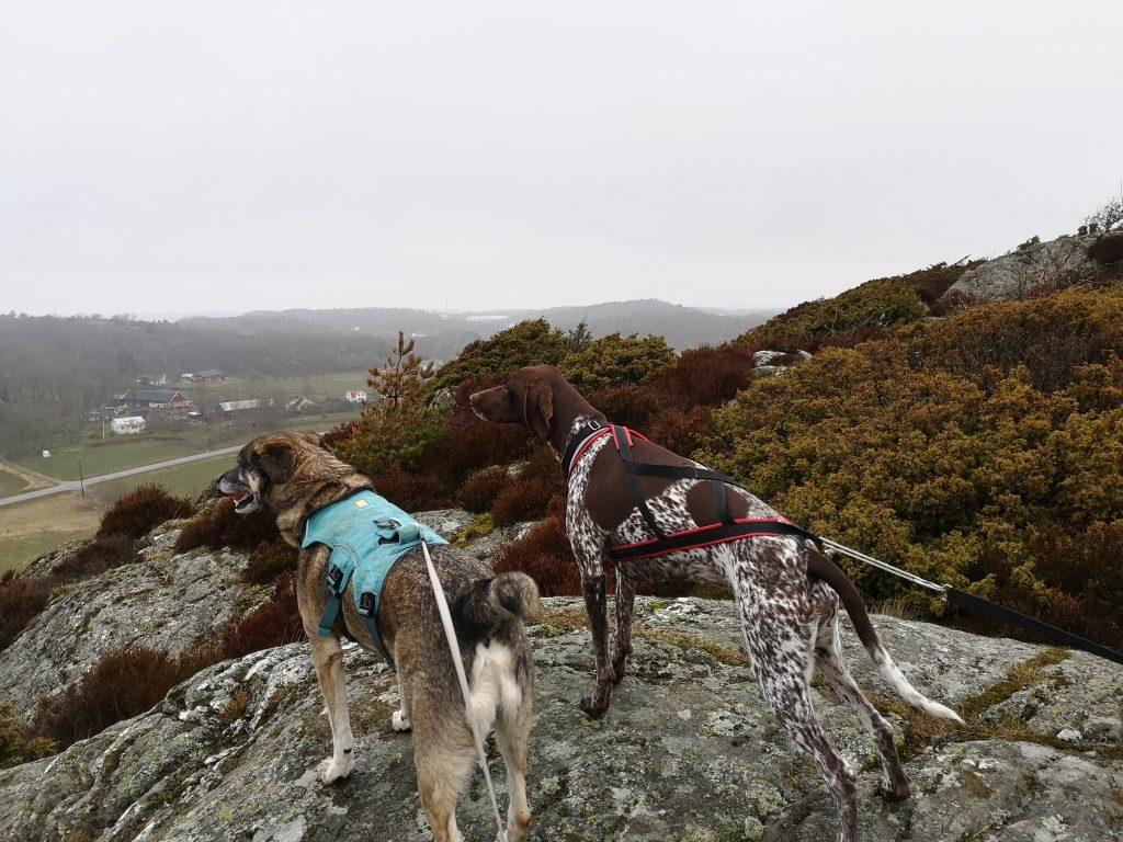 Hundarna tittar på utsikten vid Fornborgen