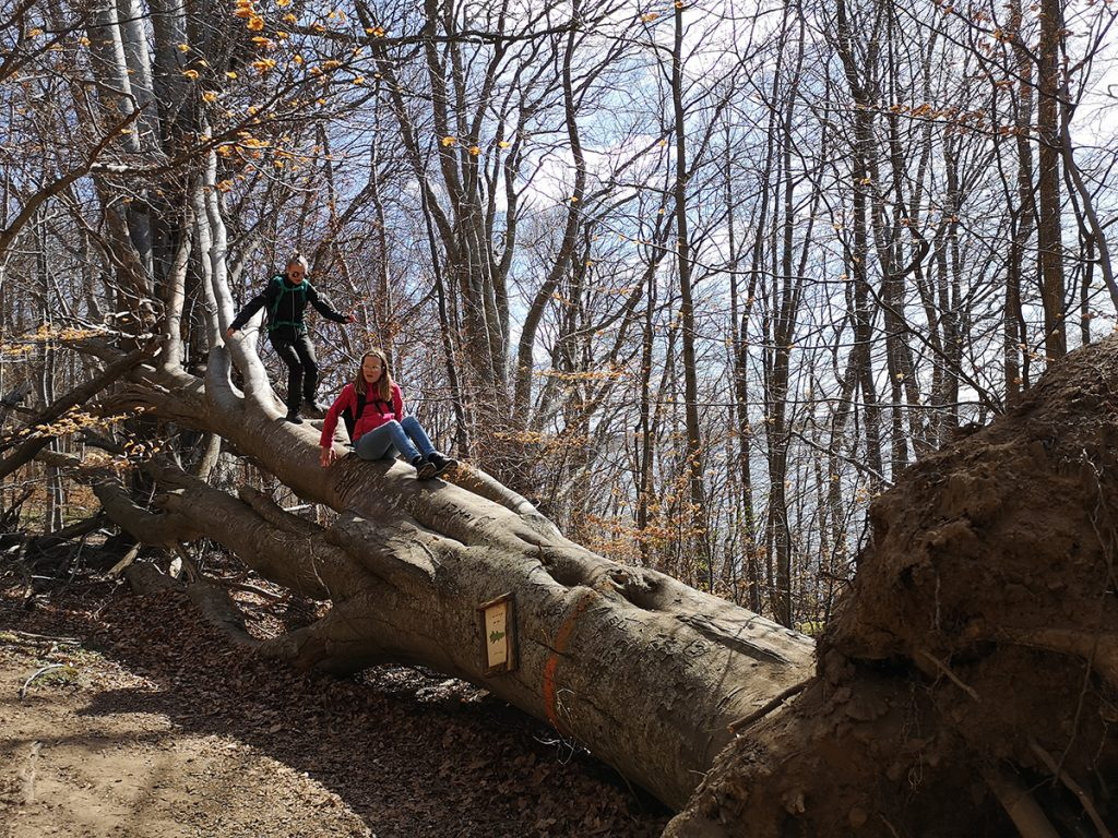 Balansakt på nedfallet träd, Omberg