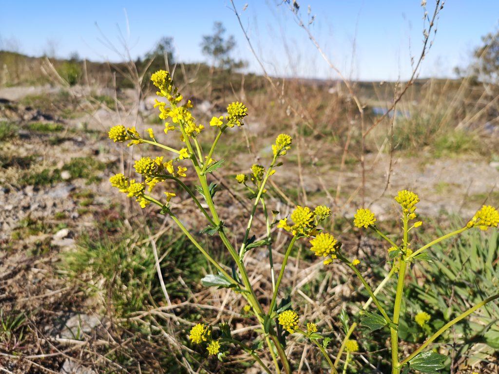 Sommargyllen - Barbarea vulgaris