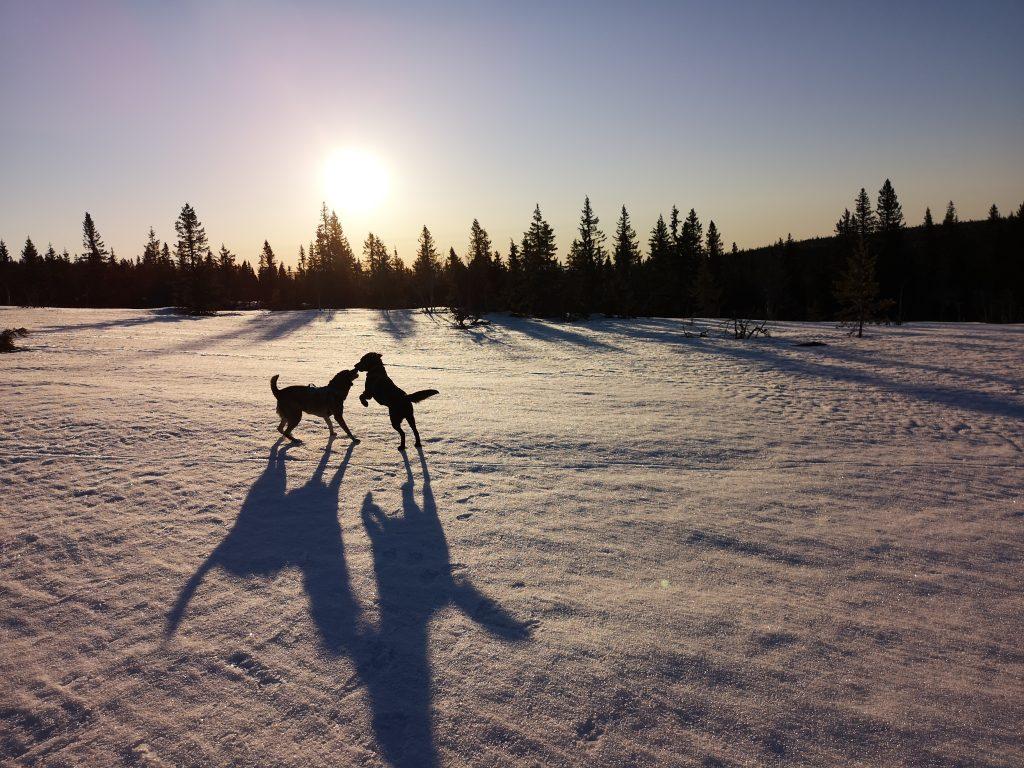 Hundar i morgonsol på fjället i Sälen