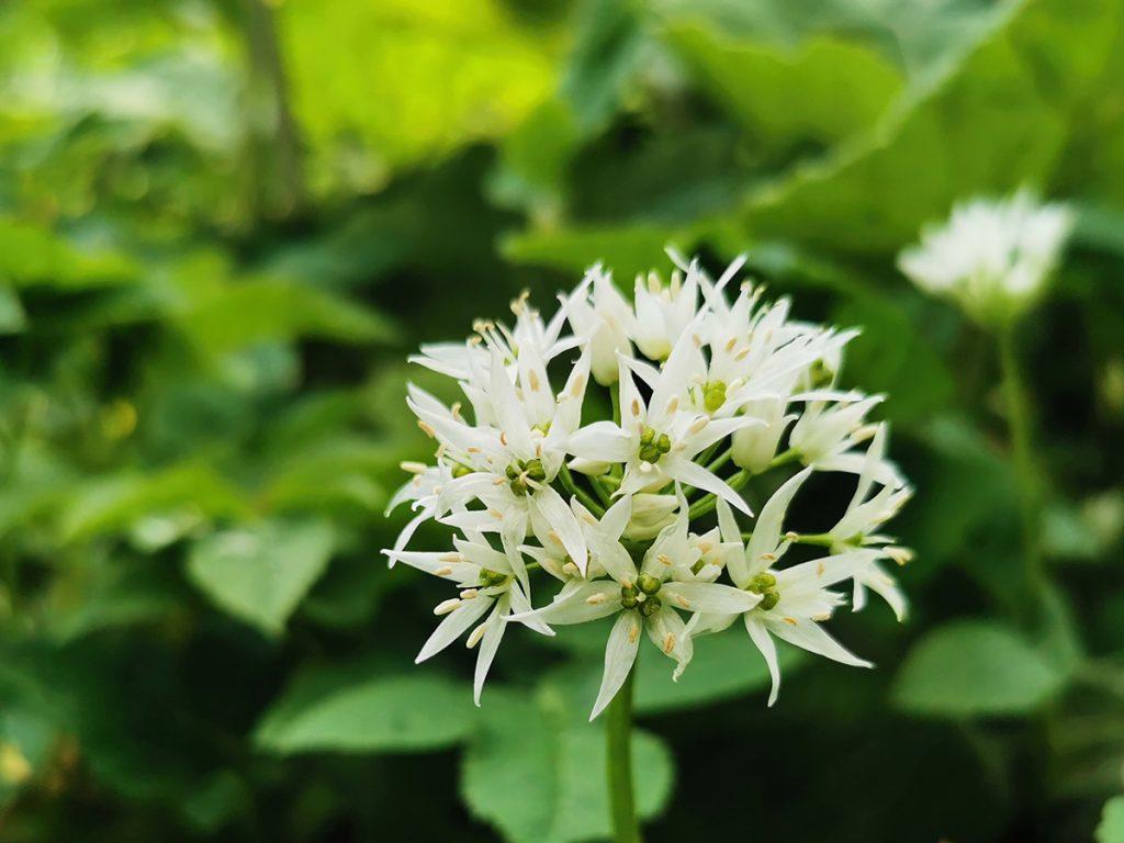 Ramslök - allium ursinum