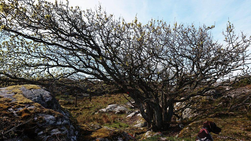 Vinden har format träden på Härmanö