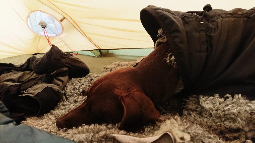 Spexa sover gott på fårskinnen