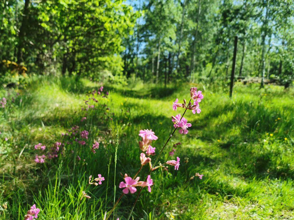 Idyllisk skogsväg - här med tjärblomster