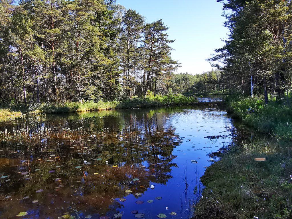 I den här delen av sjön växte mycket näckrosor