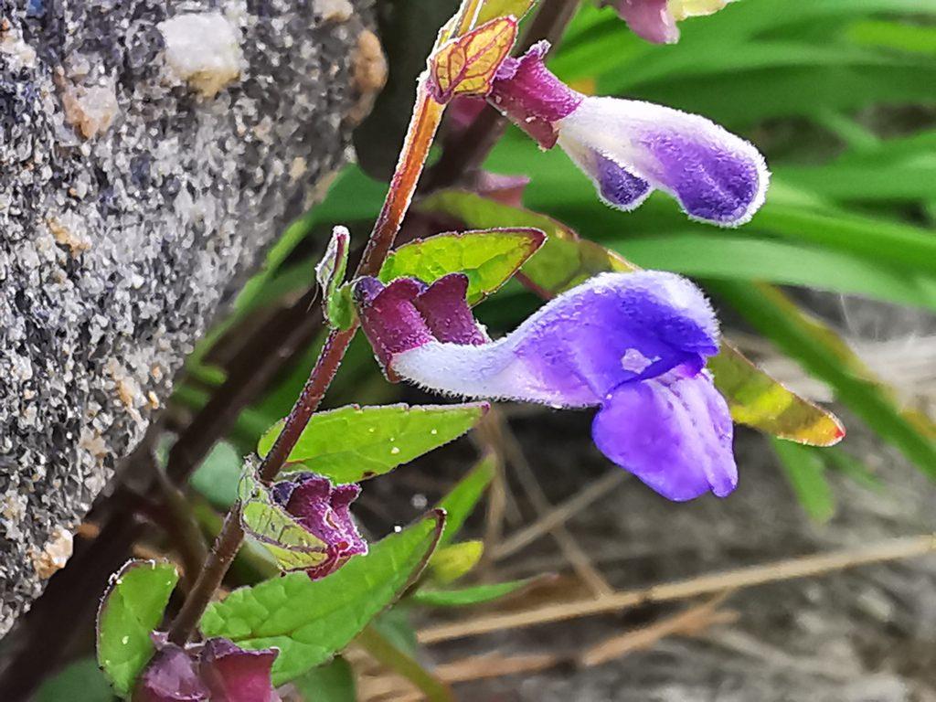 Frossört - Scutellaria galericulata
