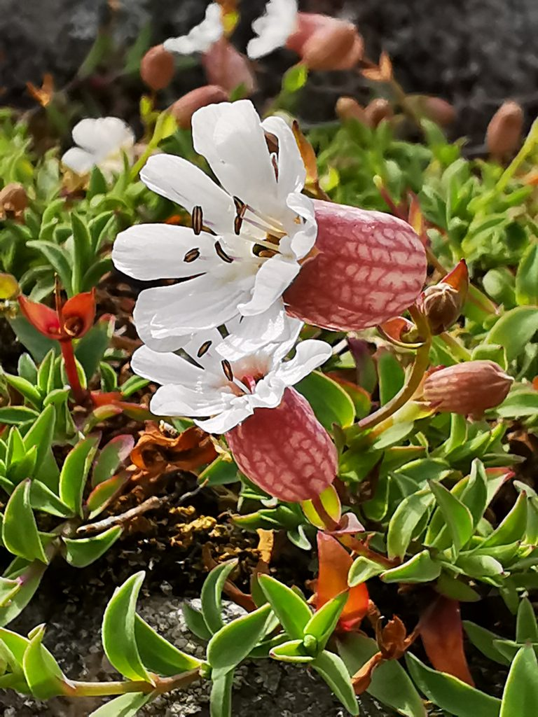Strandglim - Silene uniflora
