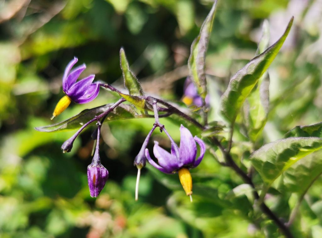Besksöta - Solanum dulcamara