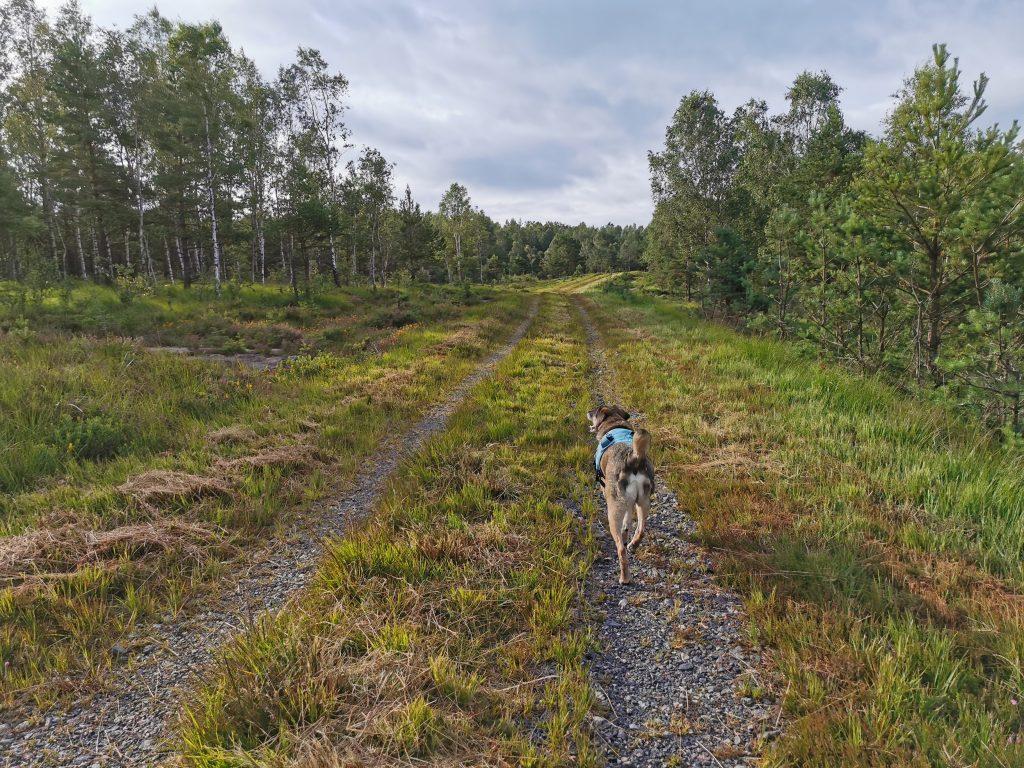 Min hund på en av mina favorit-hemomkring-skogsvägar