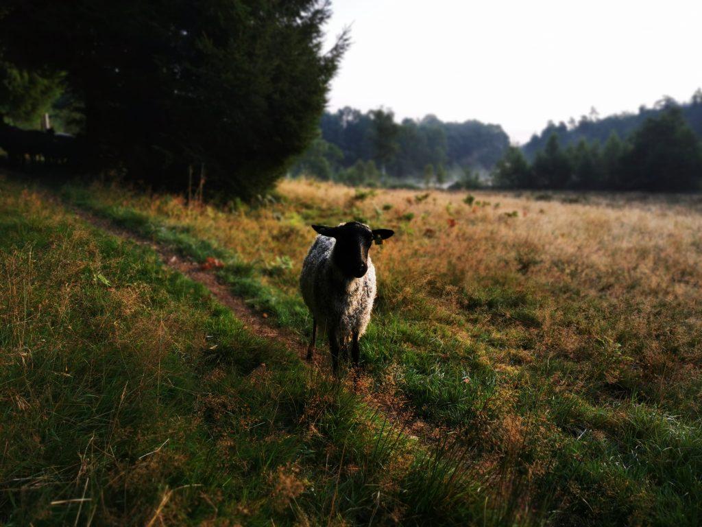 Ett av alla fåren längs leden