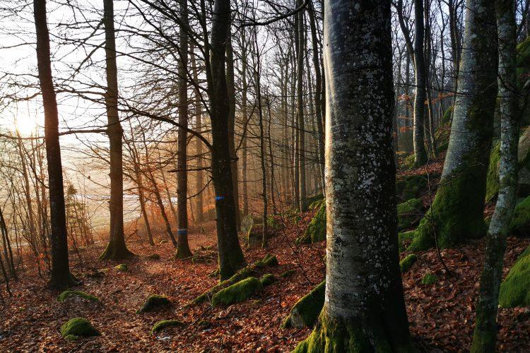 Bokskogen i naturreservatet Anneröd Hogsäm