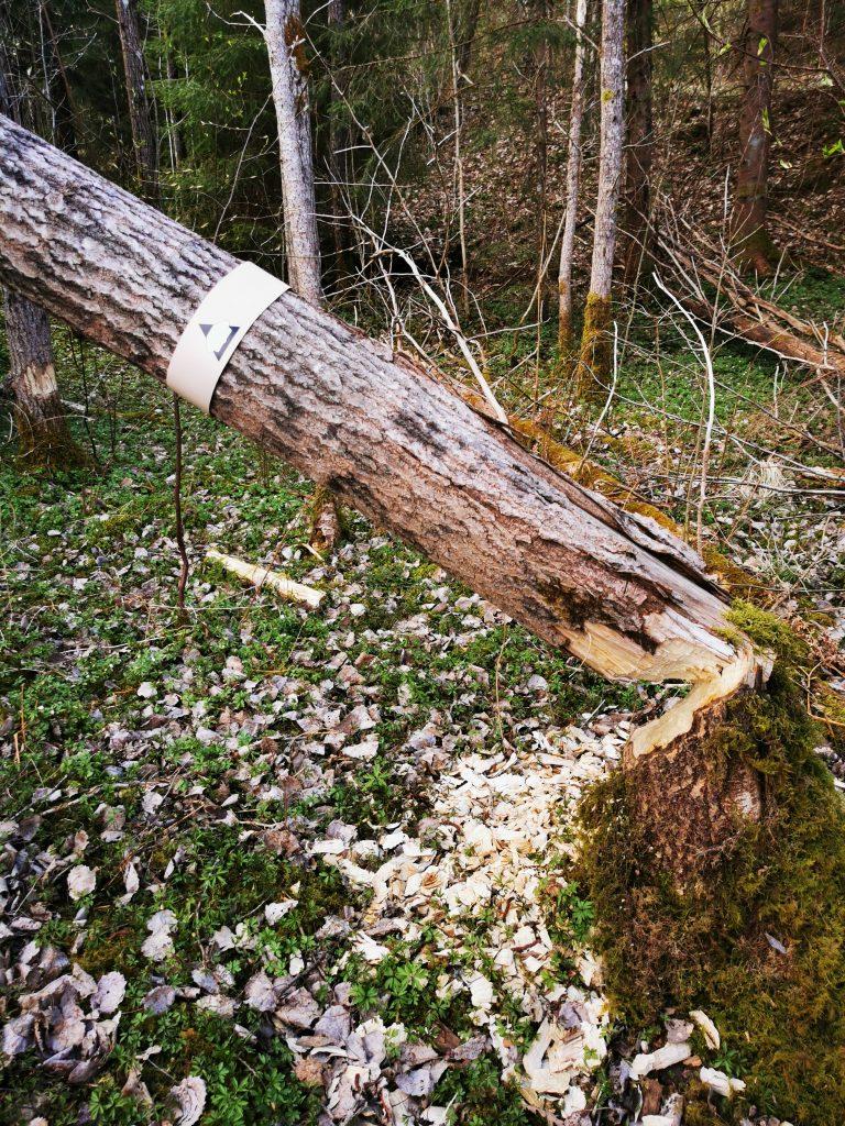 Bävern har gnagt av trädet med markeringen för Snäckskalstriangeln