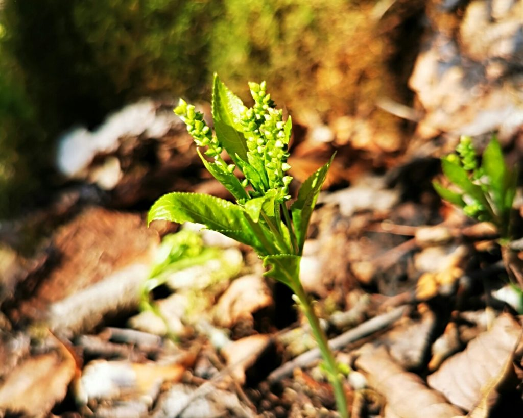 Skogsbingel i Munkängarna