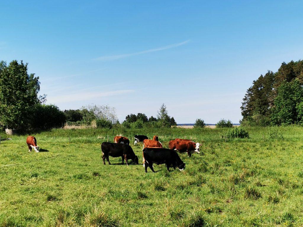 Kor som betar längs gångbanan in mot Mariestad