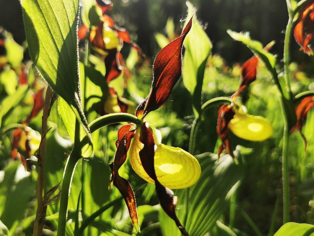 Guckusko - Cypripedium calceolus - en av våra orkidéer