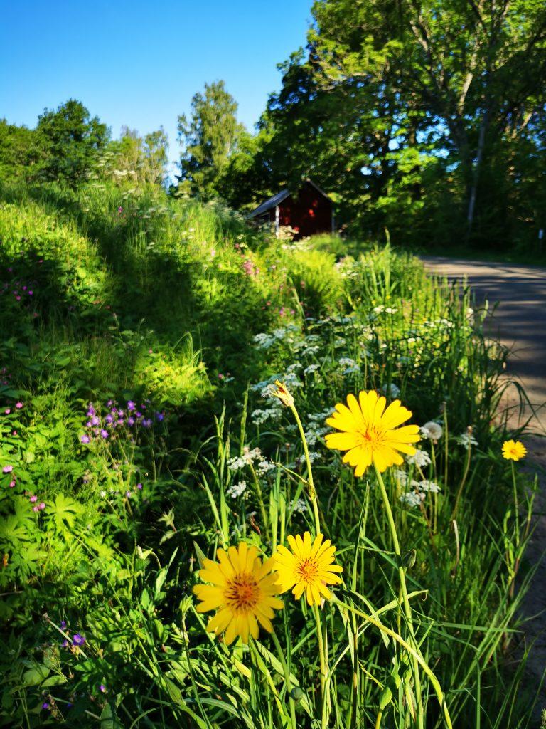 Vilken blomsterprakt längs vägen mot Karleby
