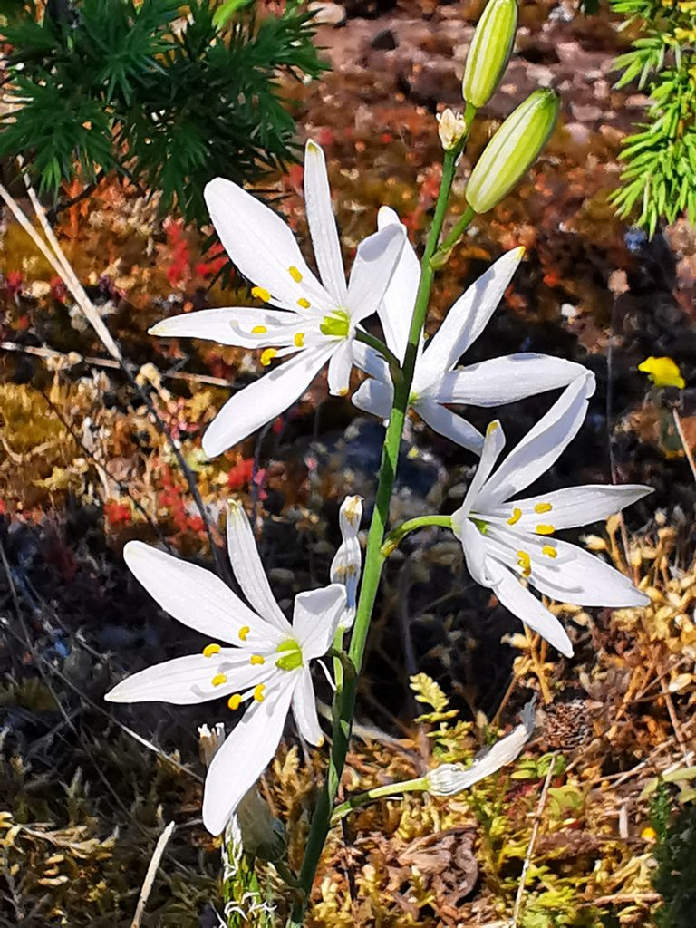 Stor sandlilja - Anthericum liliago - som växte mitt ute på alvaret
