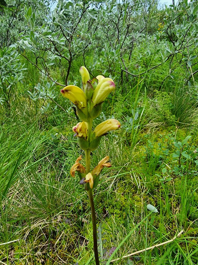Kung Karls spira - Pedicularis sceptrum-carolinum