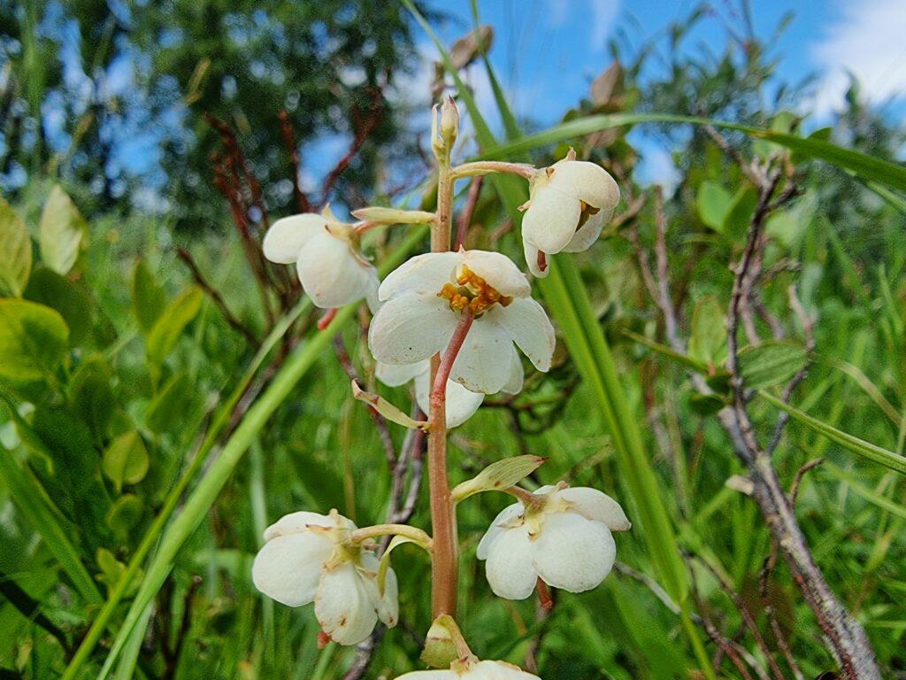 Vitpyrola - Pyrola rotundifolia