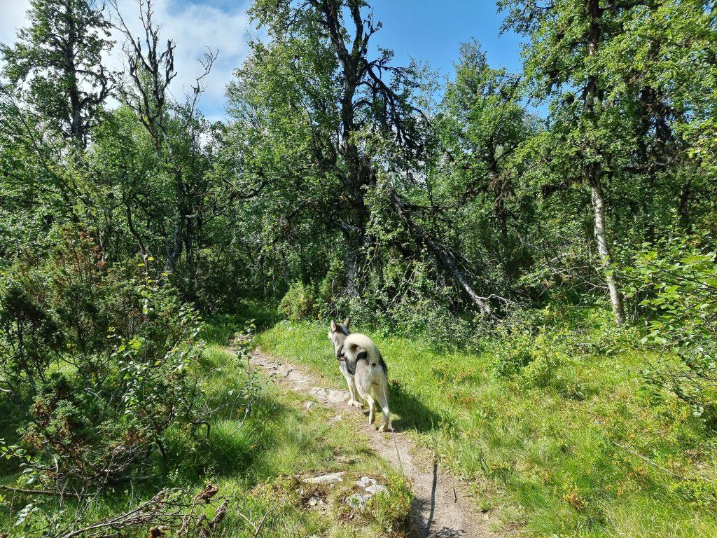 På väg in i fjällbjörkskogen på väg ner mot parkeringen (Anderssjöåfallet)