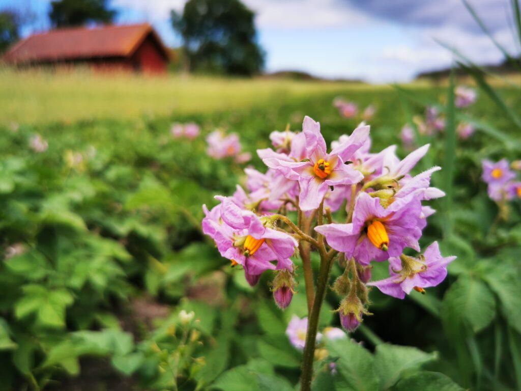 I potatislandet vid Änga blommade det för fullt