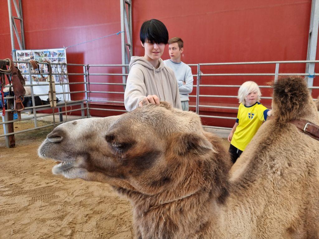 Lättare att klappa en liggande än en stående kamel - i alla fall om man inte är så lång själv