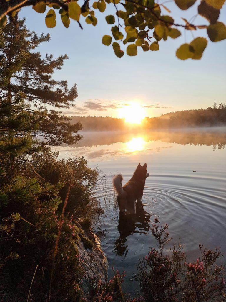 Balder i soluppgången - medan han tar ett litet morgondopp i Gårdsjön