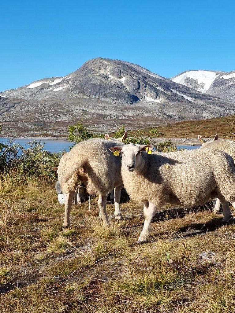 Mysigt med får