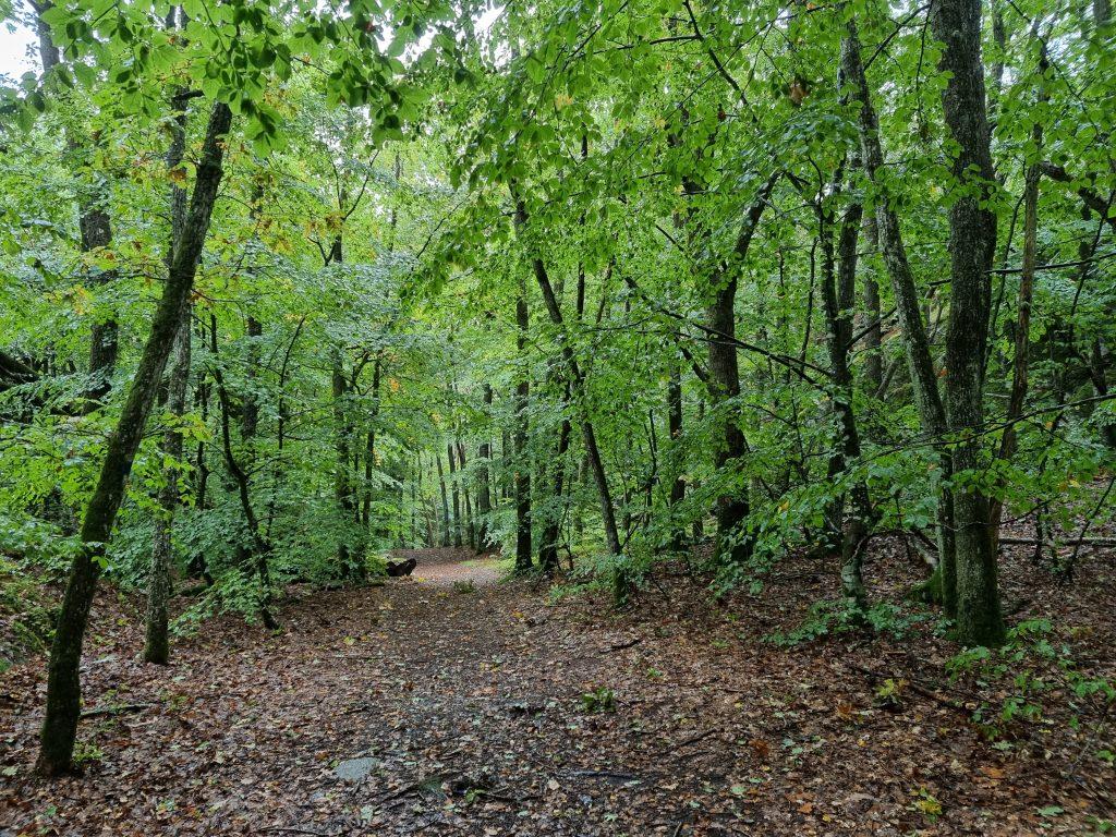 Härligt med bokskogsgrönska på hösten